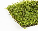 crystalwort (Riccia Fluitans) vivir flotante o alfombras plantas
