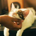 Cómo sujetar a tu gato para el cepillado (suavemente)