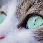 Cómo limpiar los ojos de tu gato: todo lo que necesitas saber