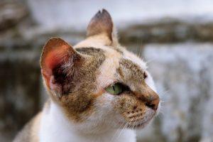 ¿Puedes afeitar a un gato?