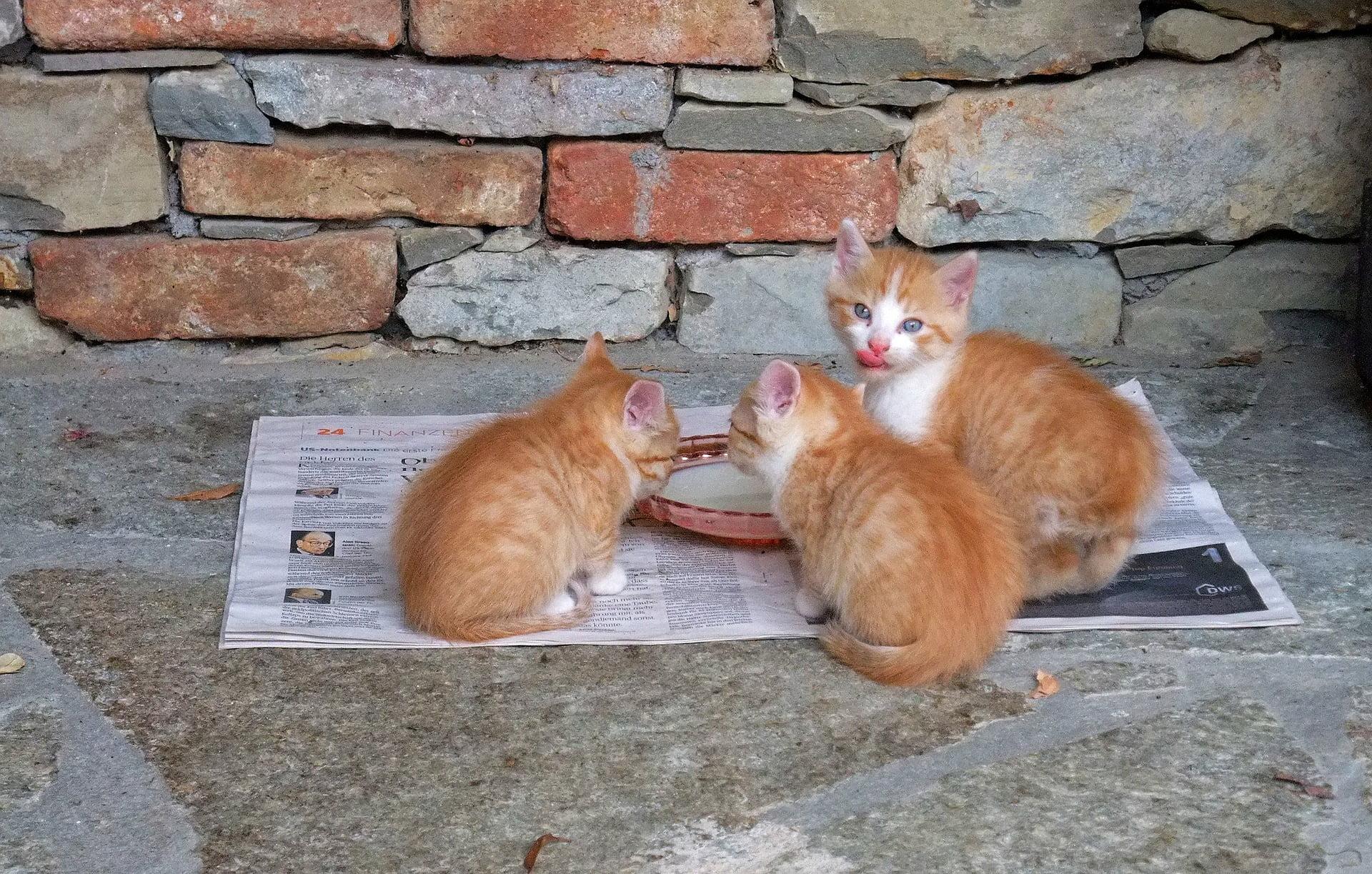 La mejor comida para gatitos para tu gato [year] (Análisis) 1