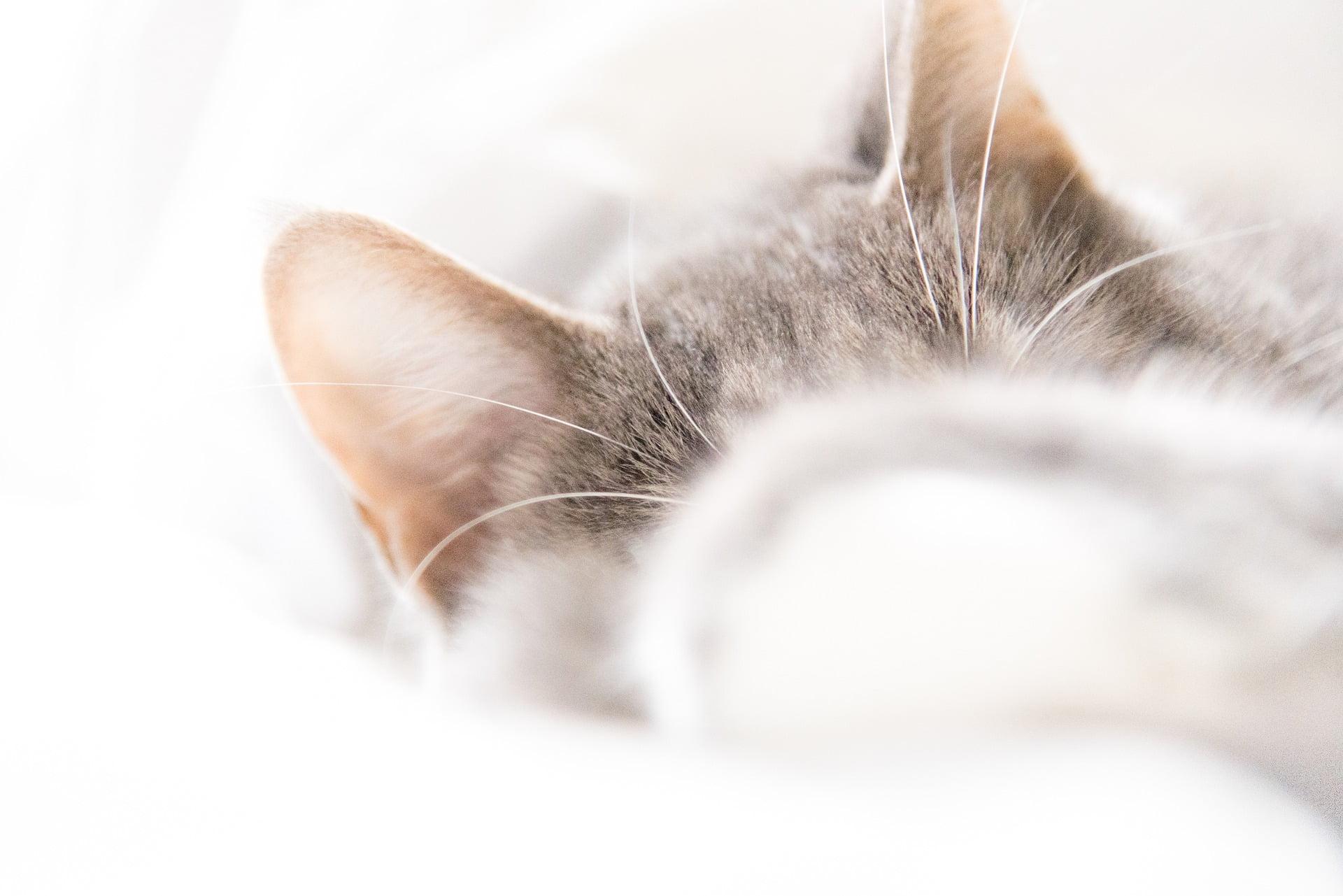 Cómo limpiar las orejas de tu gato correctamente