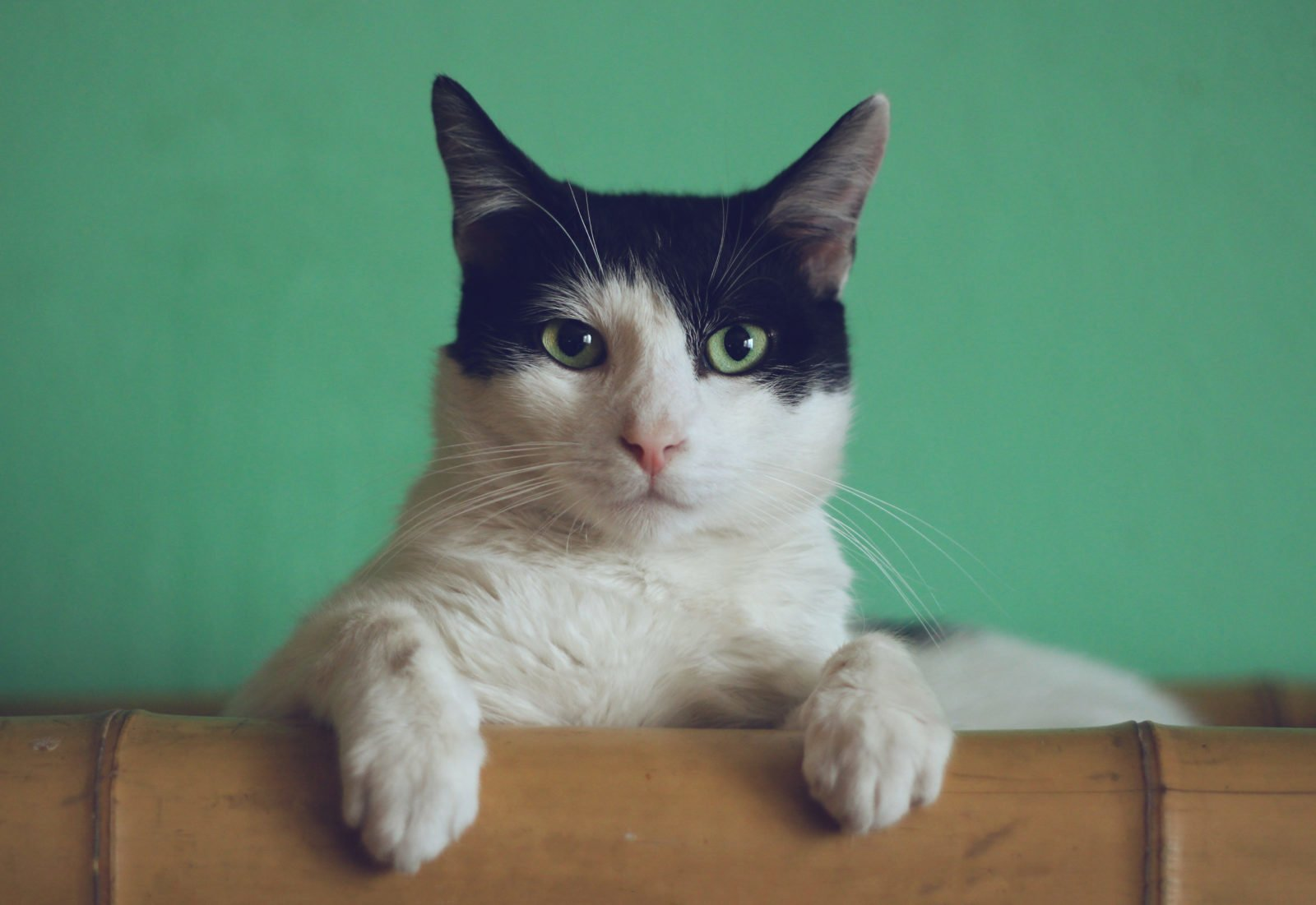 What Breed Is My Cat? - tuxedo bicolor