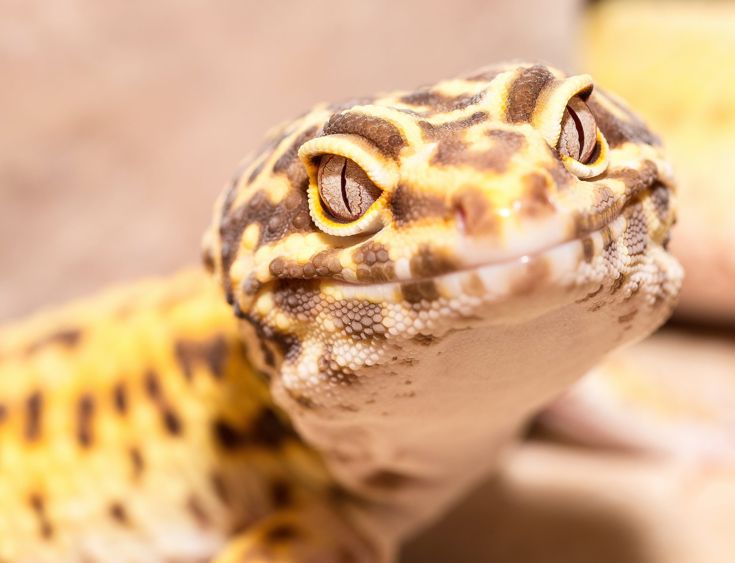 close-up photography of leopard gecko