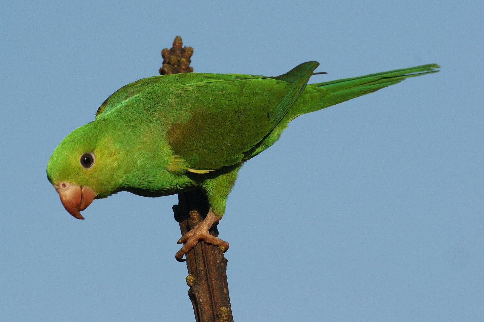 Los pájaros mascotas más tranquilos 2