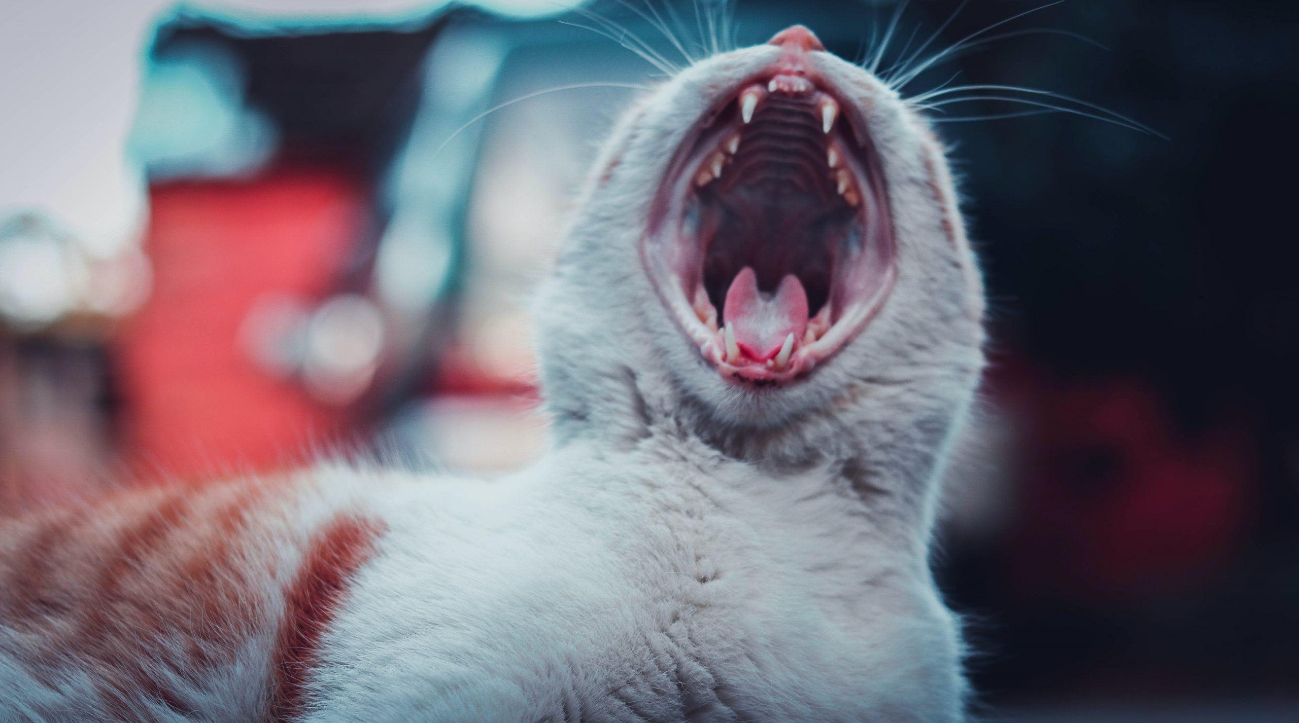 ¿Por qué mi gato pierde dientes? Conociendo las causas y buscando soluciones