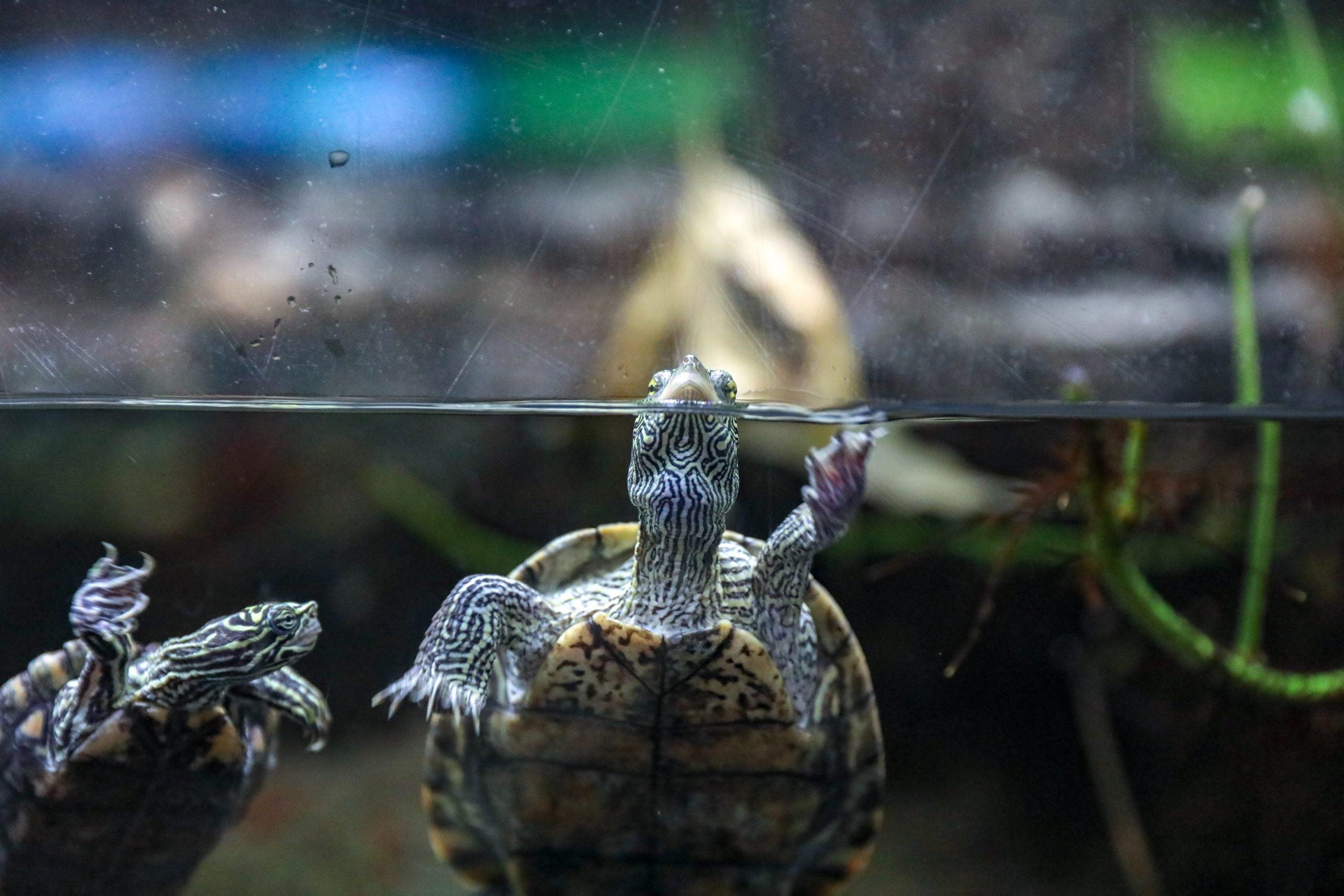 Tortugas Acuáticas: Guía Completa de cuidado e información 1