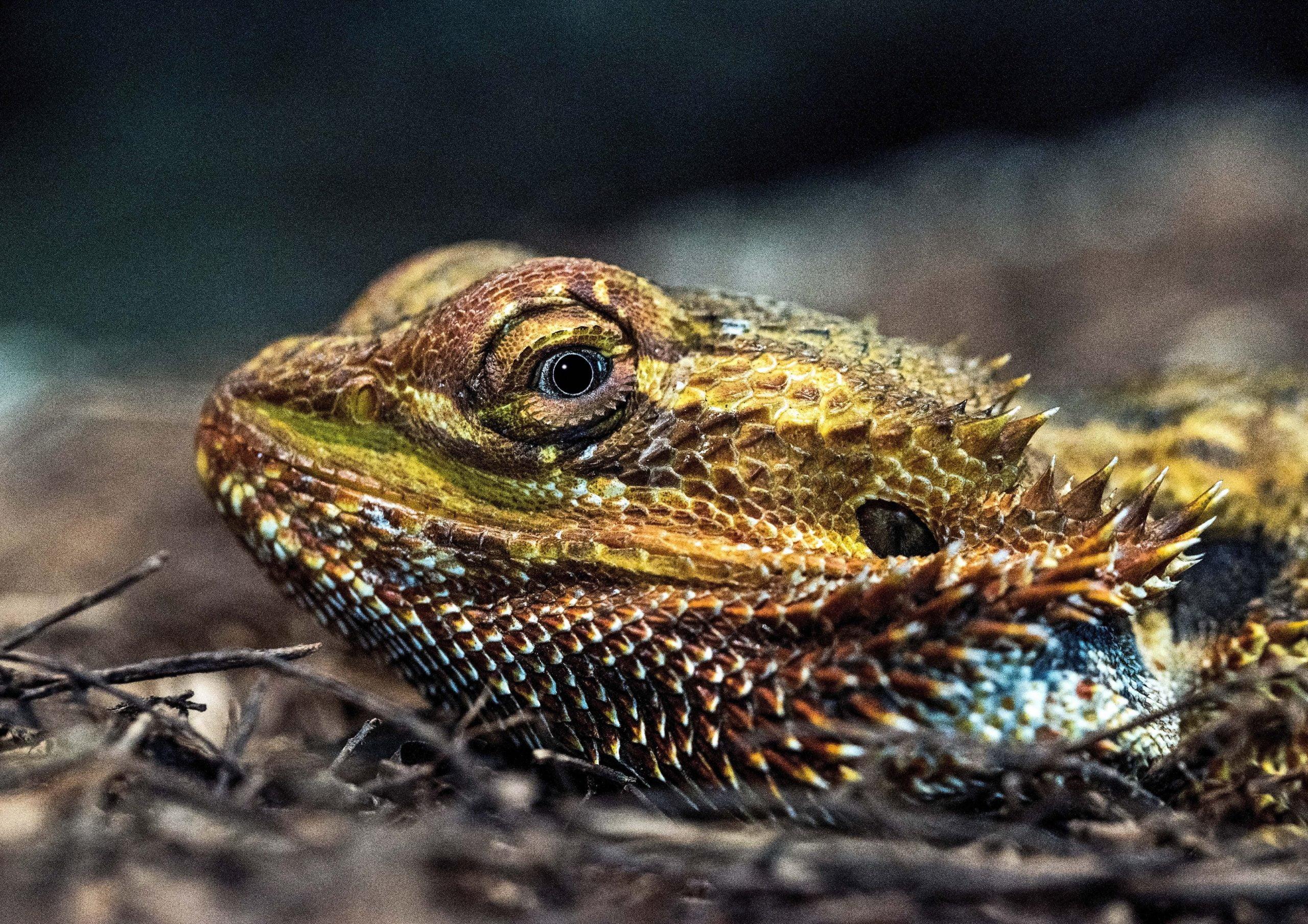 Mejores sustratos para terrario de dragón barbudo [year] 1