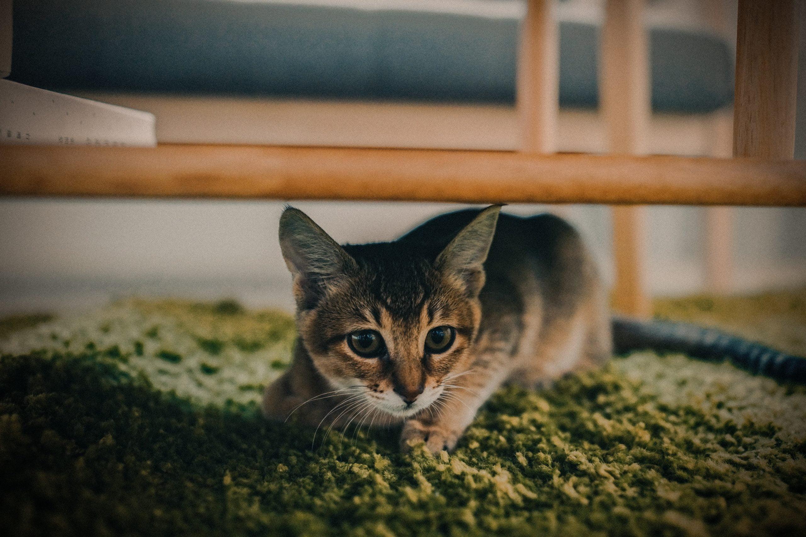 Cómo evitar que un gato cague en la alfombra 1