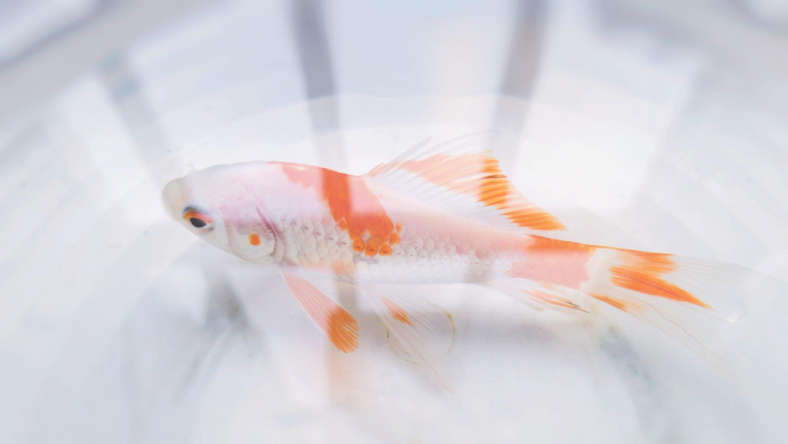 Guía de cuidado de los peces dorados (para principiantes) 1