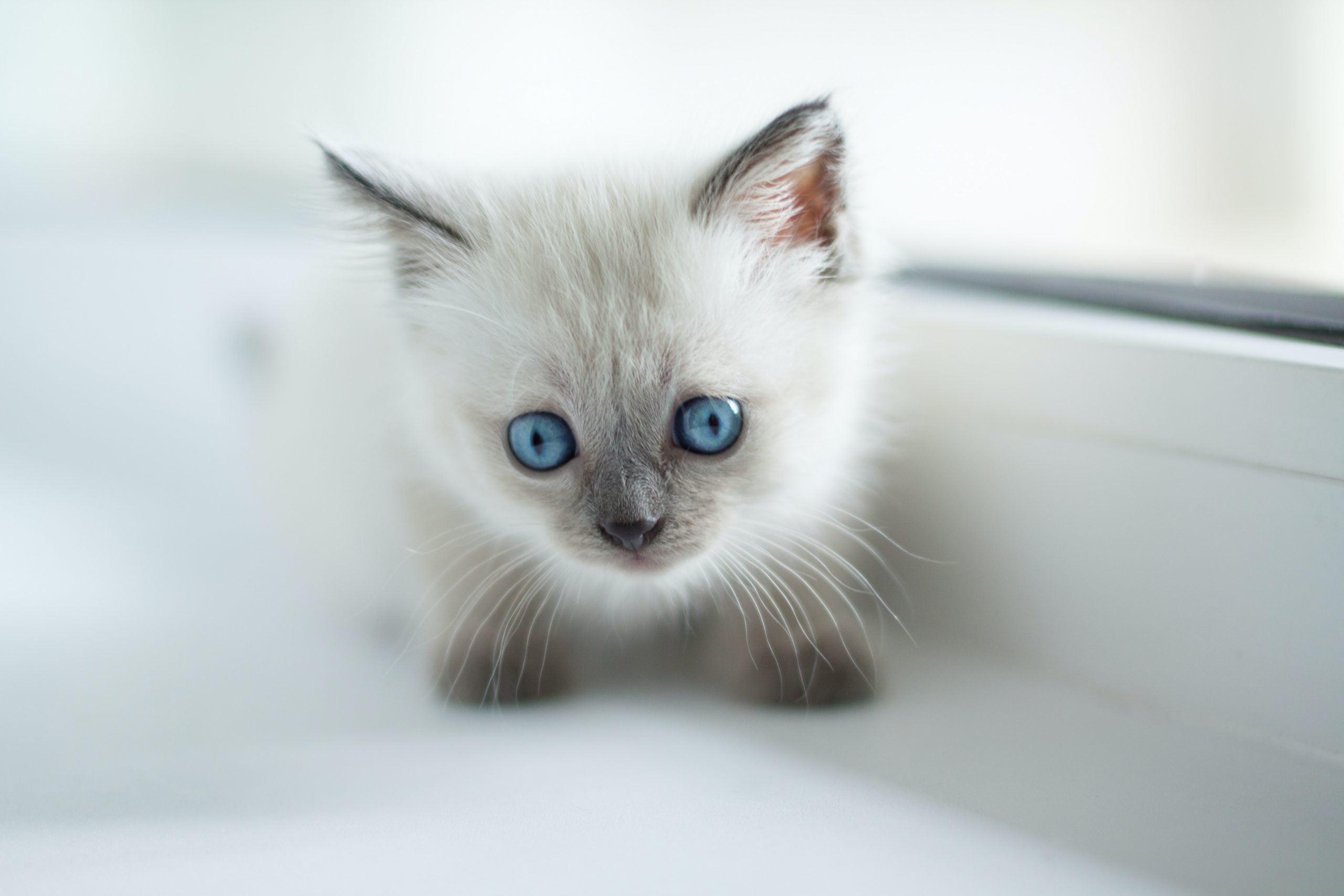¿Cuándo abren los ojos los gatitos? 1