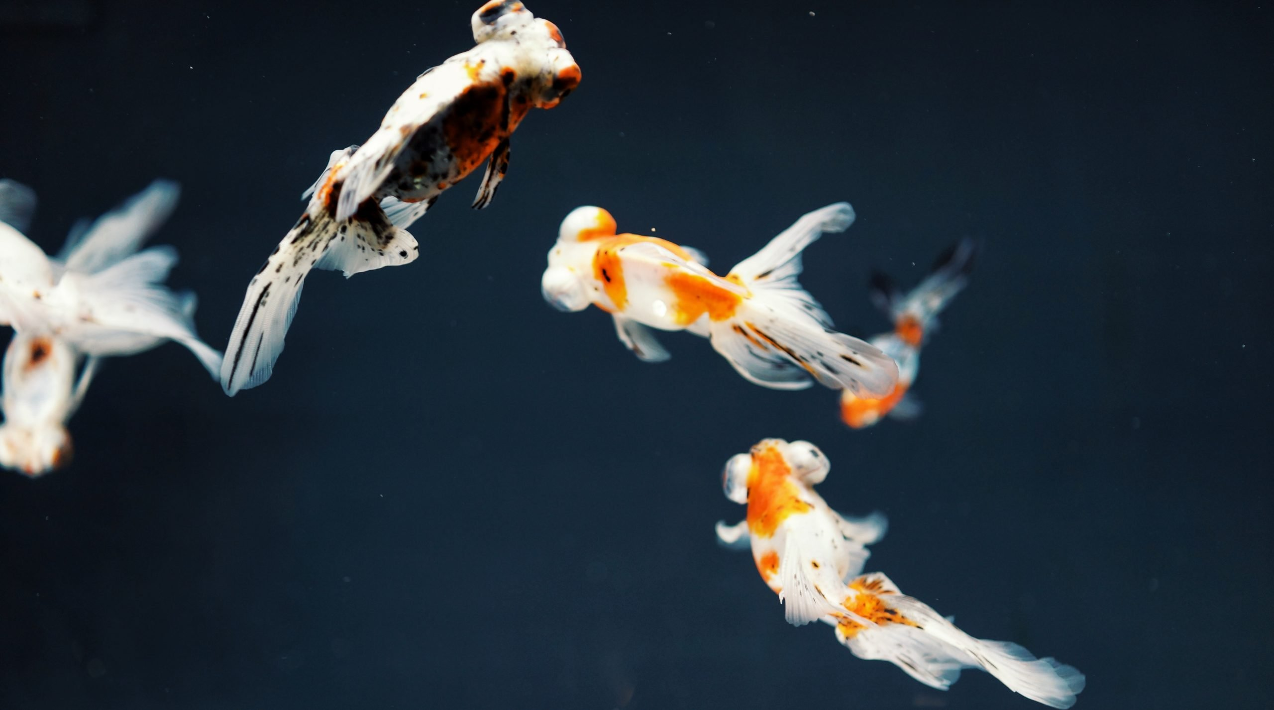 top view photography of three gold fishes