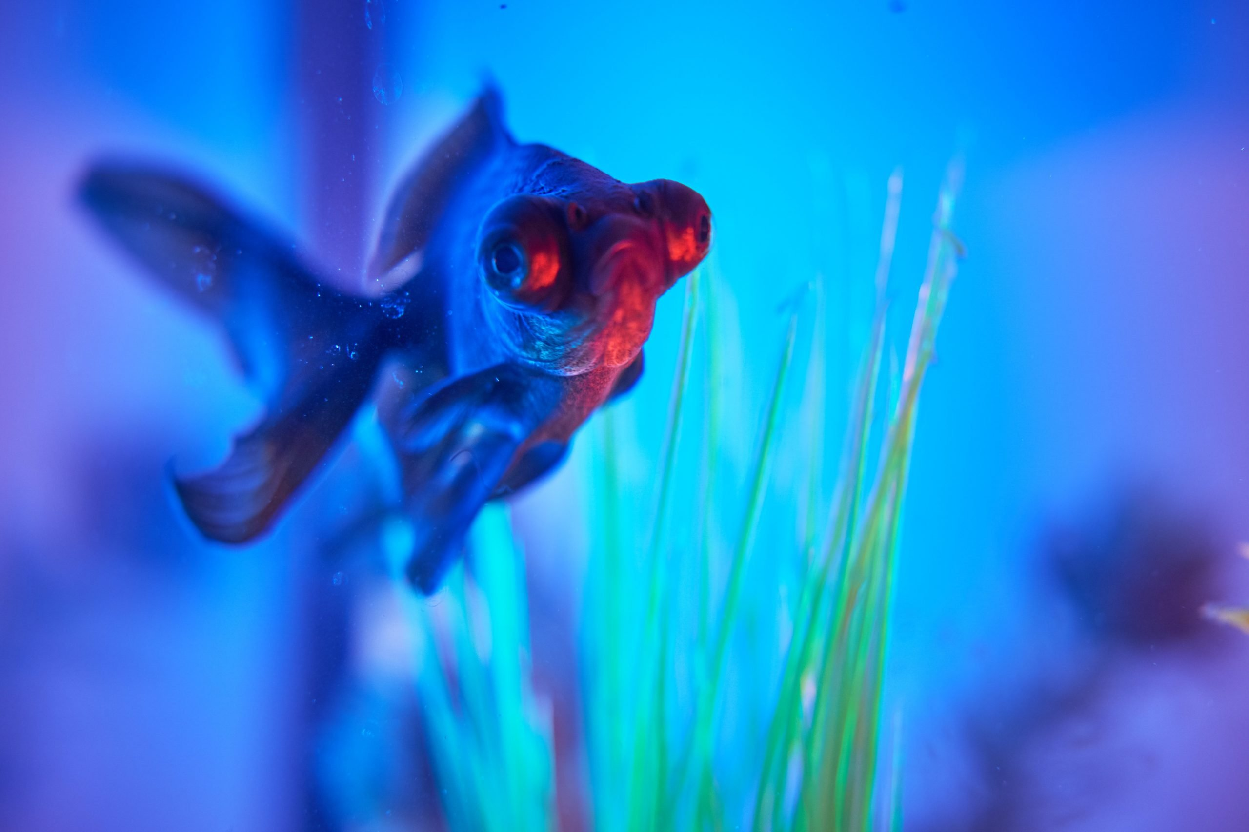 blue and red fish underwater