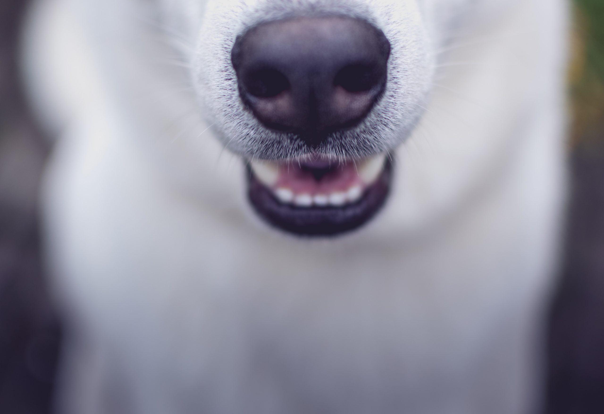 Sobremordida en perros: causas y tratamiento de la maloclusión en perros 1