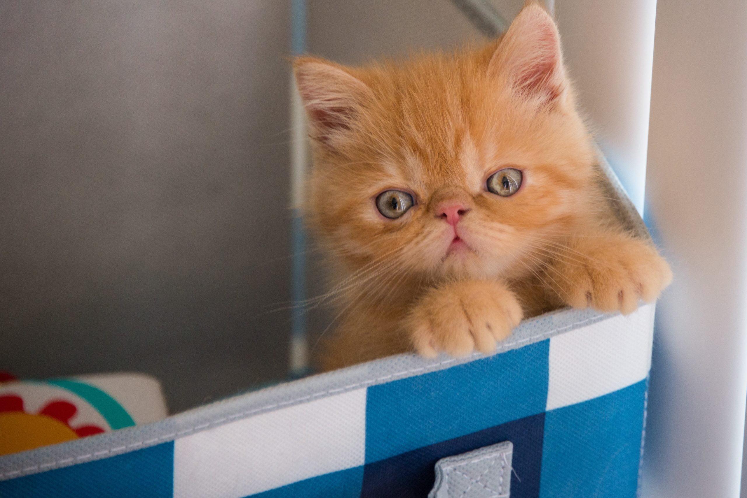 Gato exótico de pelo corto: información, características y detalles de la raza 1