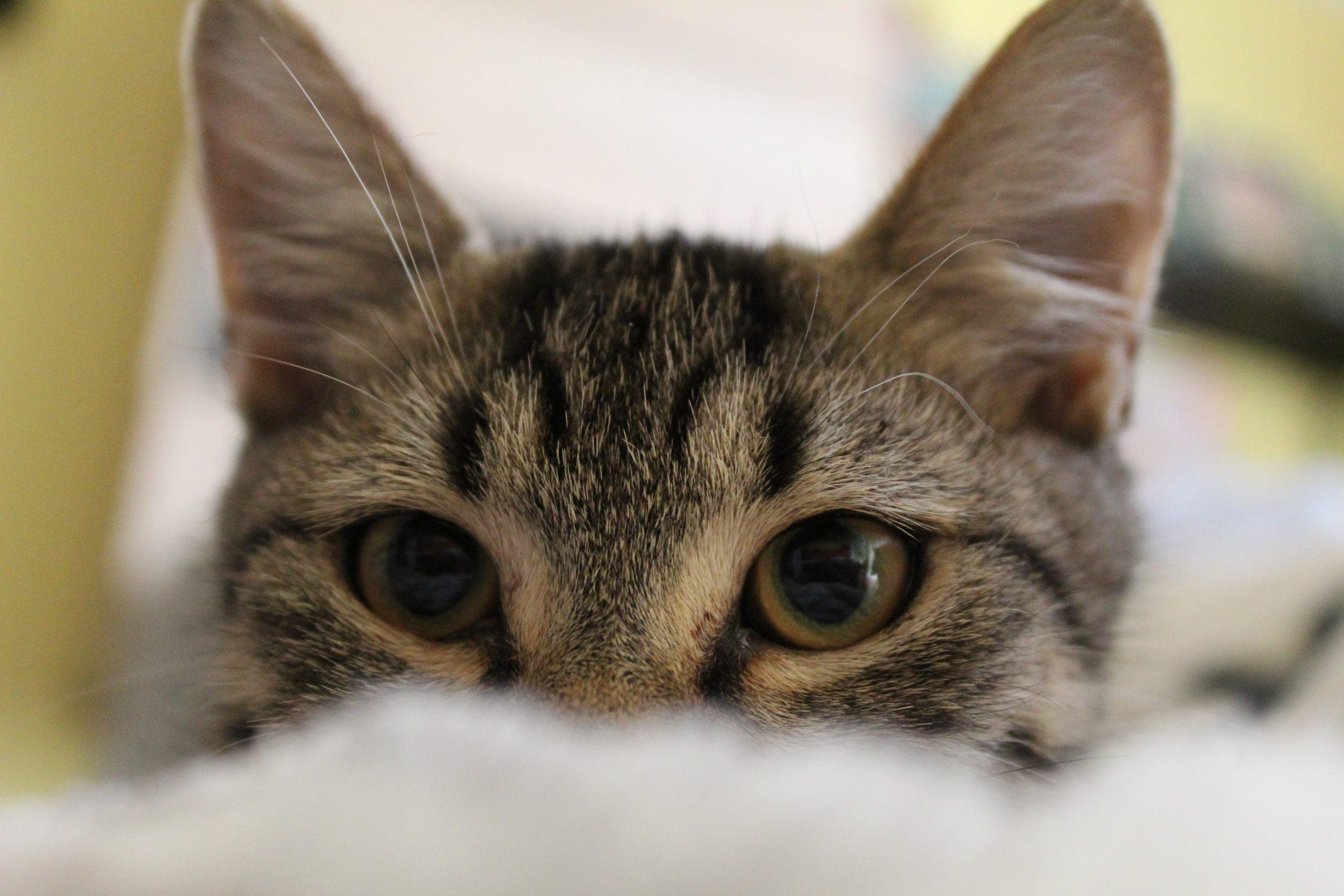 Mejor comida blanda para gatos [year] (semi-húmeda) (análisis) 1