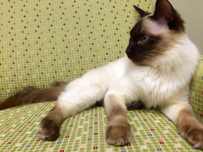 Gato balinés: información, características y datos de la raza 1