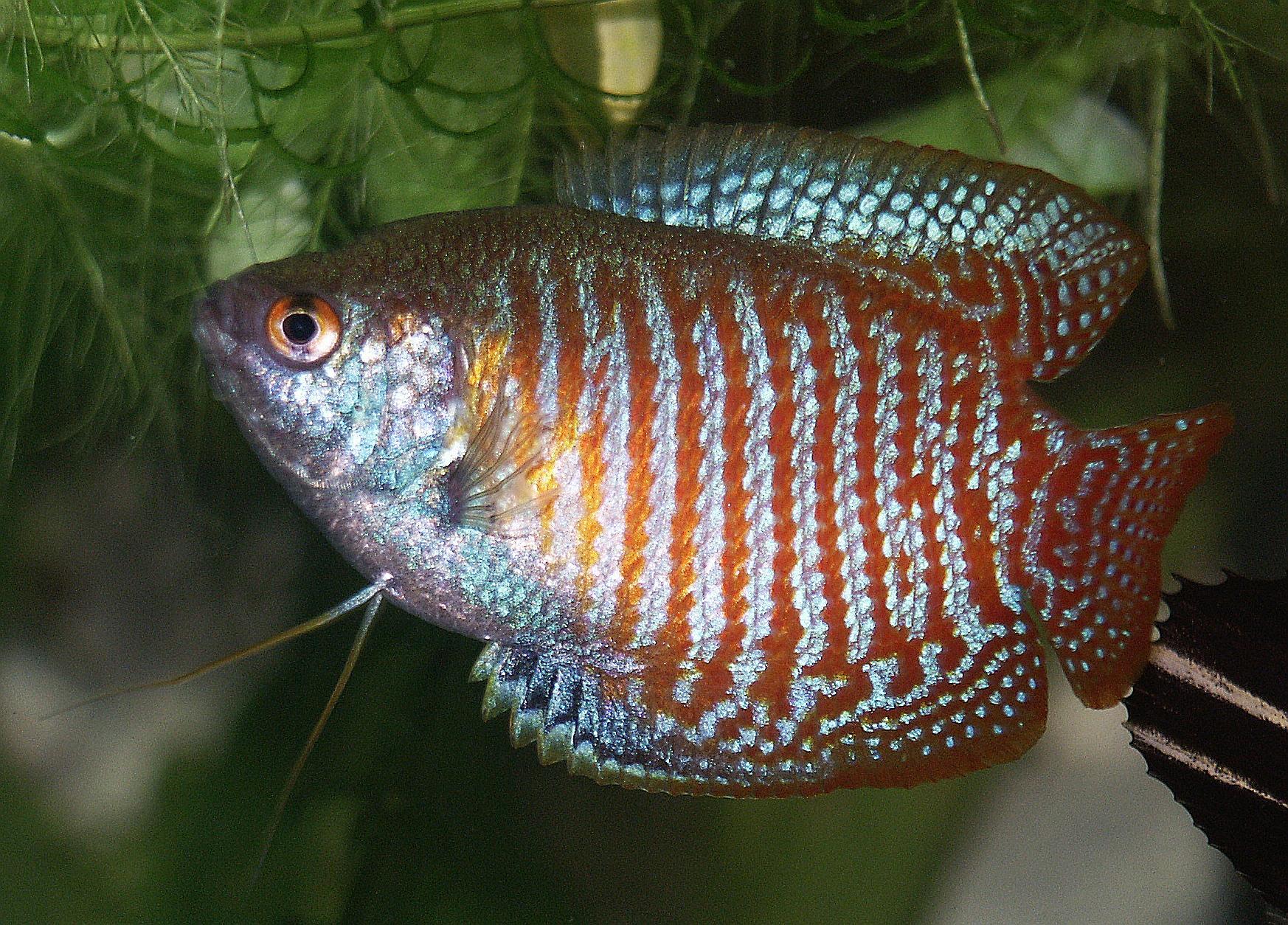 Cuidar a los peces Gourami