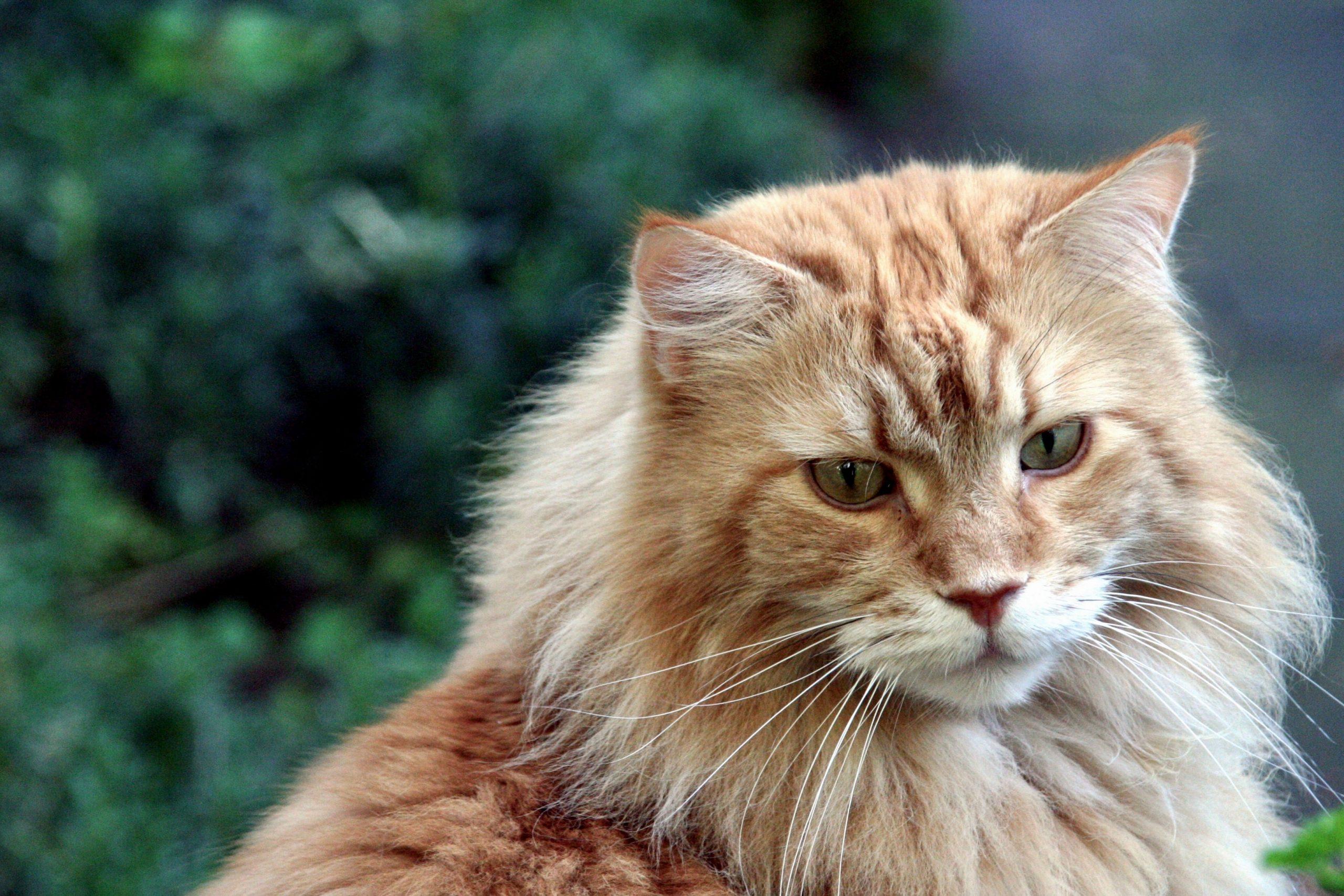 Las 10 razas de gatos domésticos más grandes 1