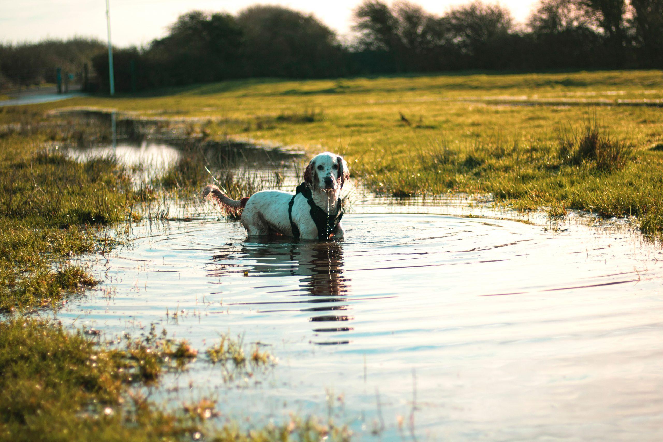 Cómo enseñar a un perro a nadar 1