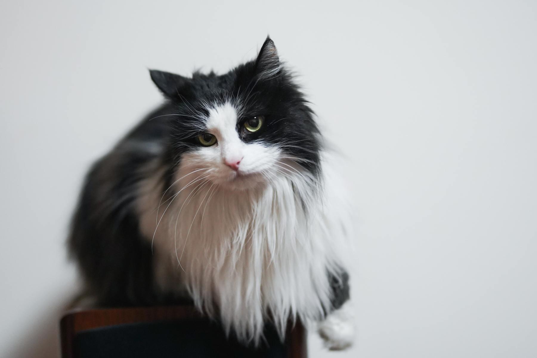 Gato Ragamuffin: información, características y hechos de la raza 1