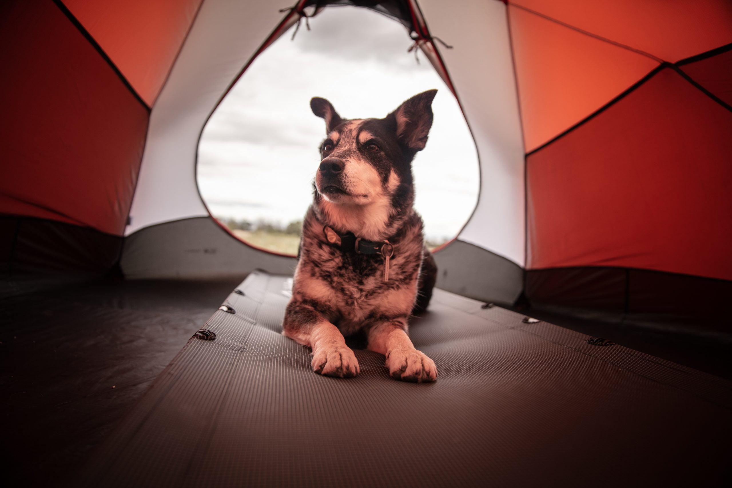 Acampar con perros: una guía para principiantes 1