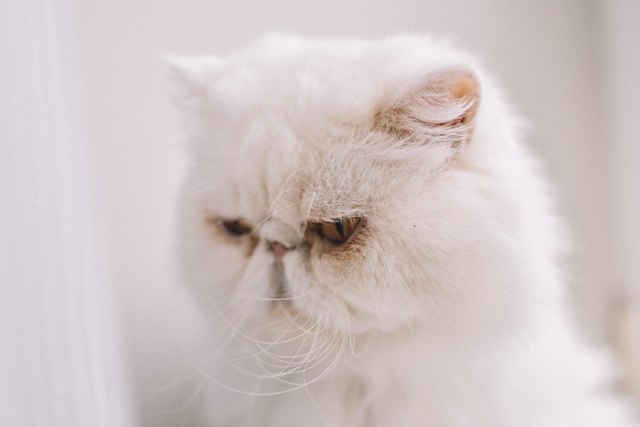 Enfermedad inflamatoria intestinal en gatos (EII): síntomas y tratamiento 1