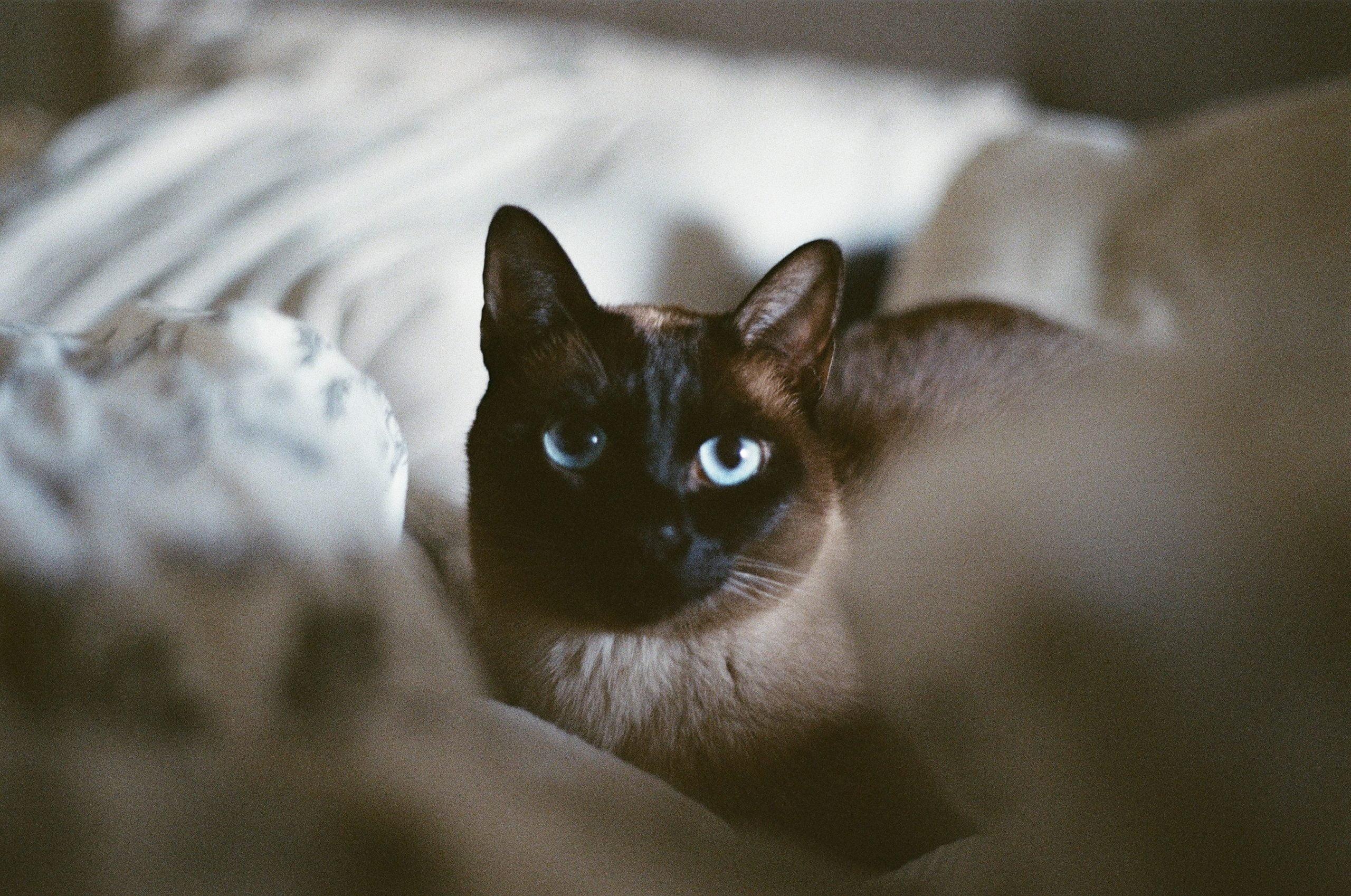 Gato tonkinés: información, características y datos de la raza 1