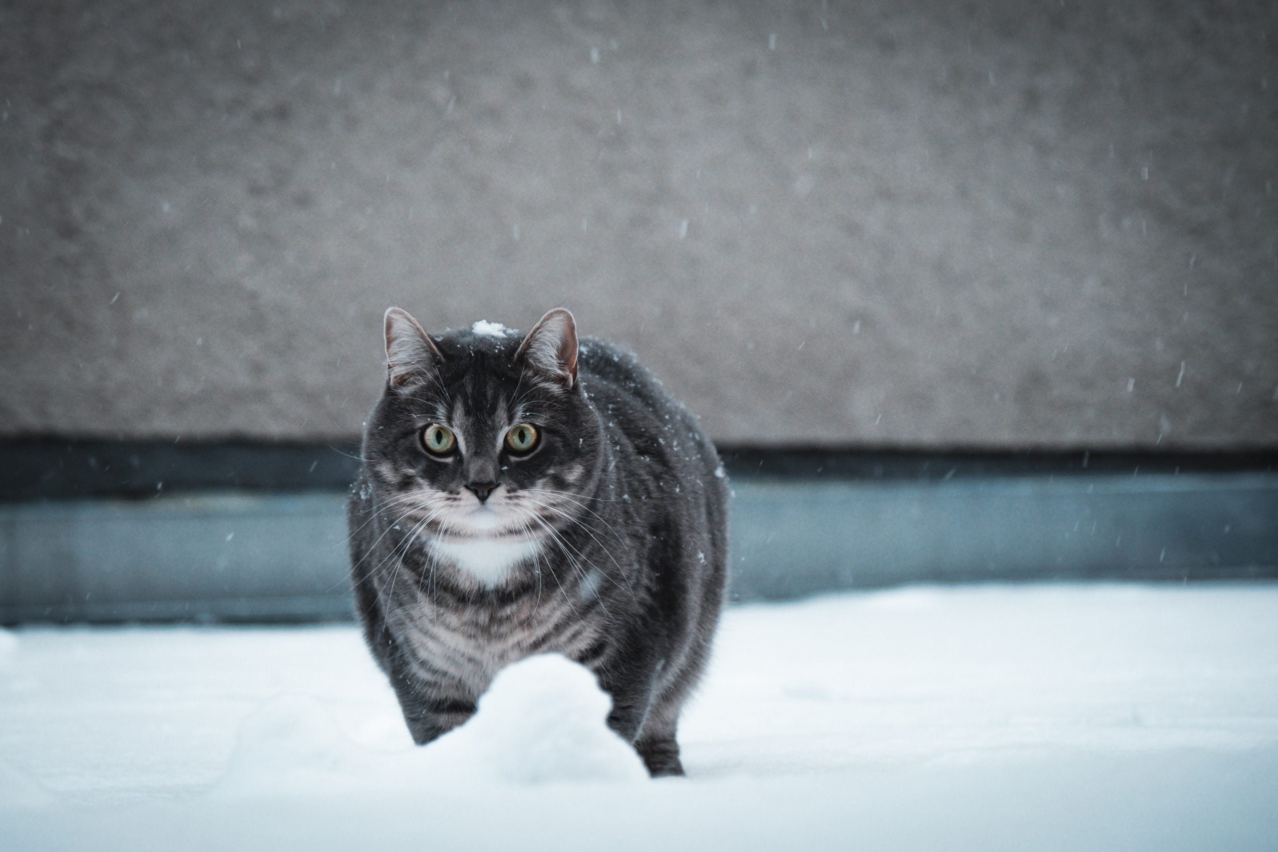 Cómo ayudar a tu gato a perder peso