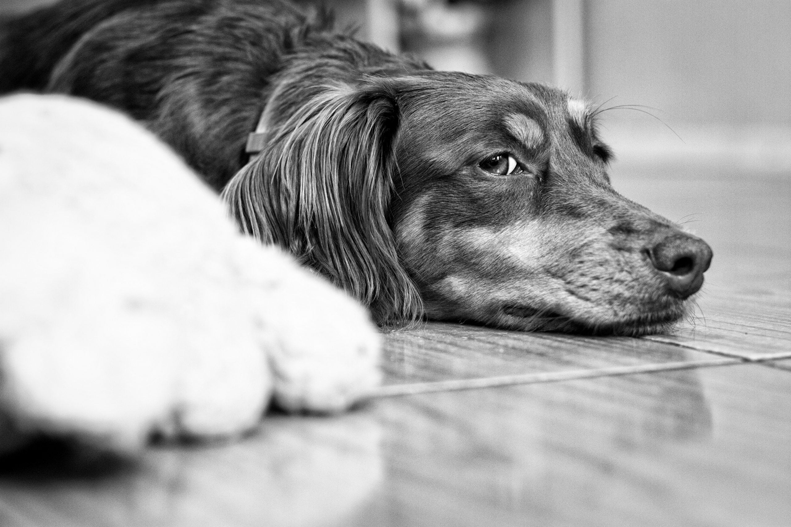 grayscale photo of long coated dog lying on floor