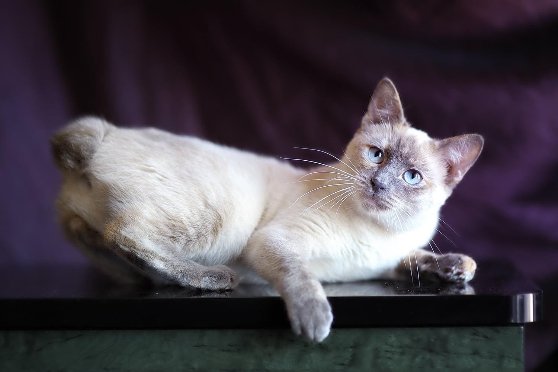 Gato Bobtail americano: información, características y datos de la raza