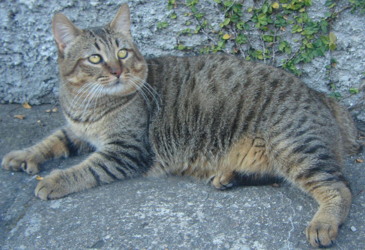 Gato Pixie Bob: información, características y datos de la raza