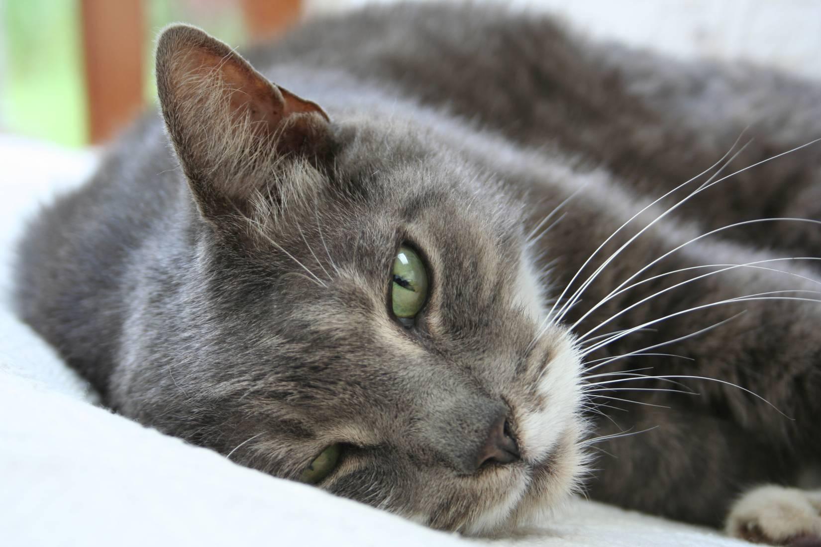 Gato americano de pelo corto: información y características de la raza 1