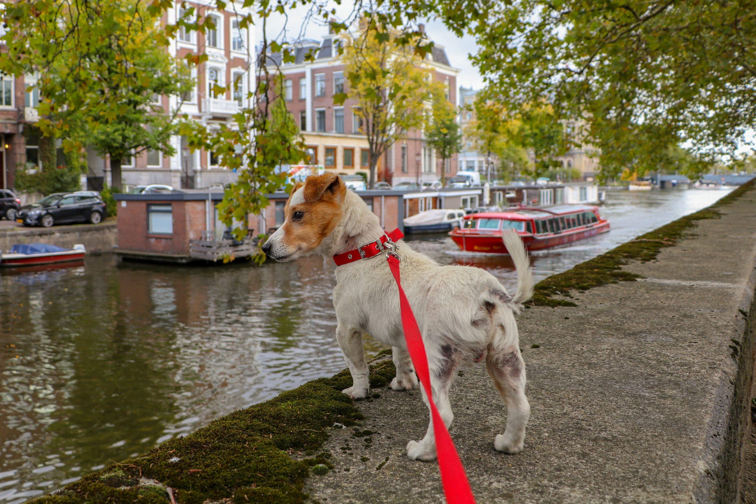 Cómo entrenar a un perro para que camine sin correa
