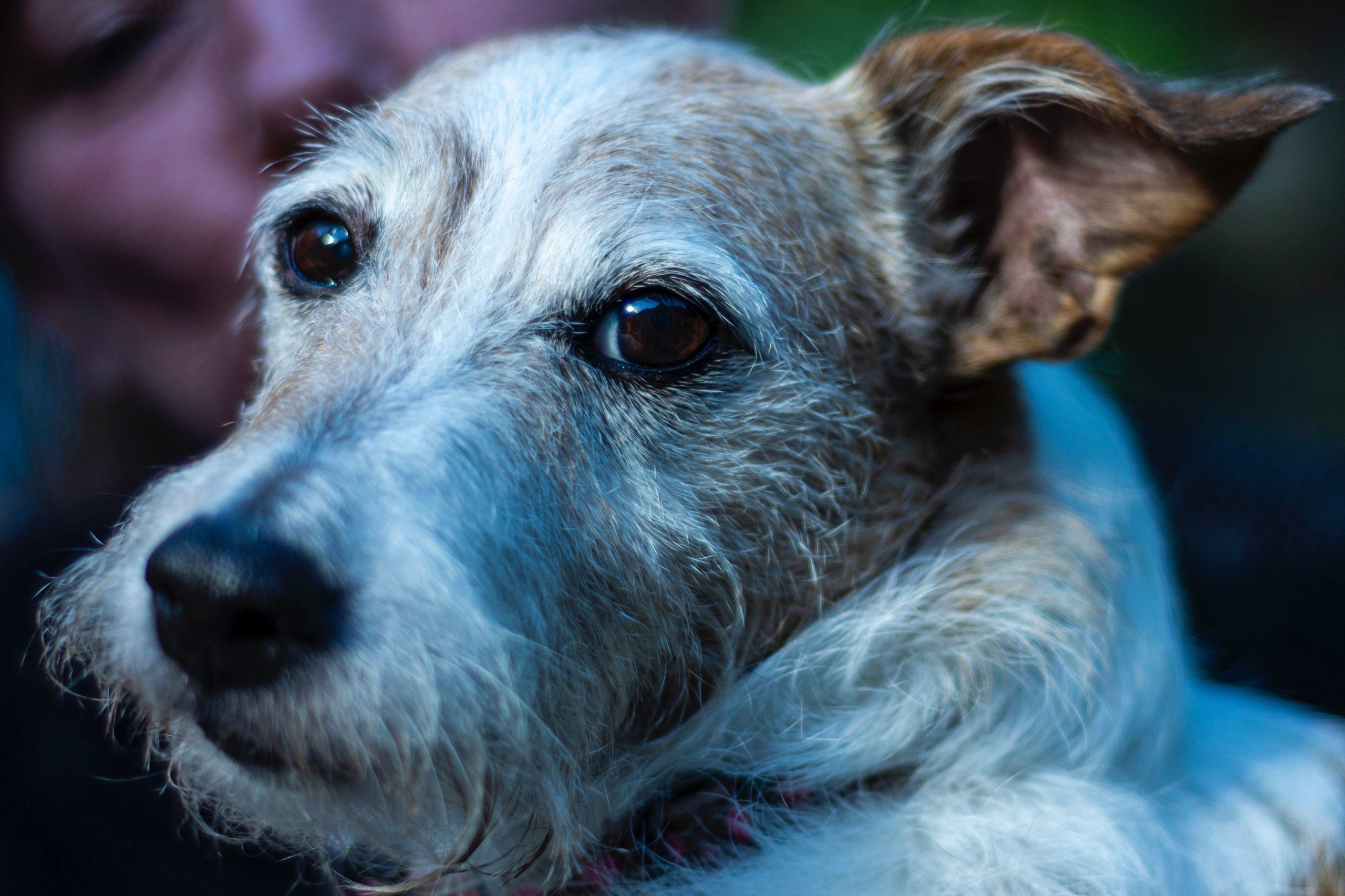 Cuidado de los perros mayores: Haz que tu perro mayor vuelva a sentirse como un cachorro