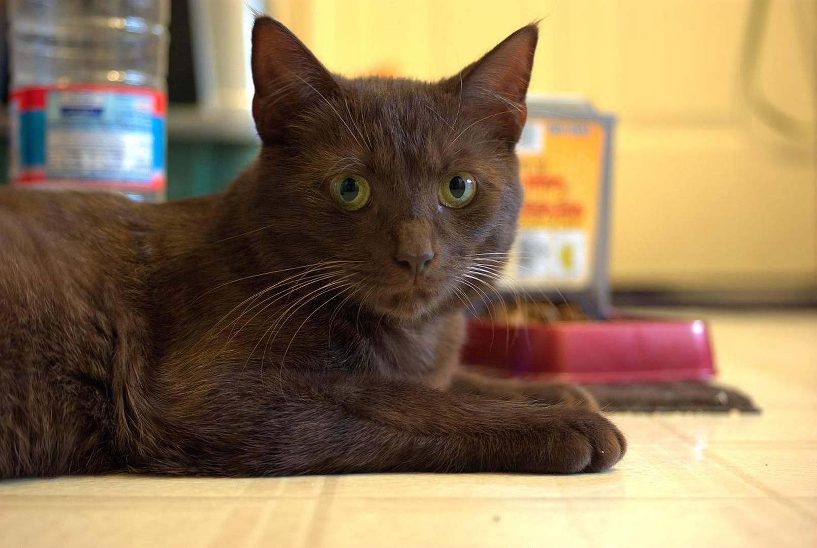 Gato Havana Brown