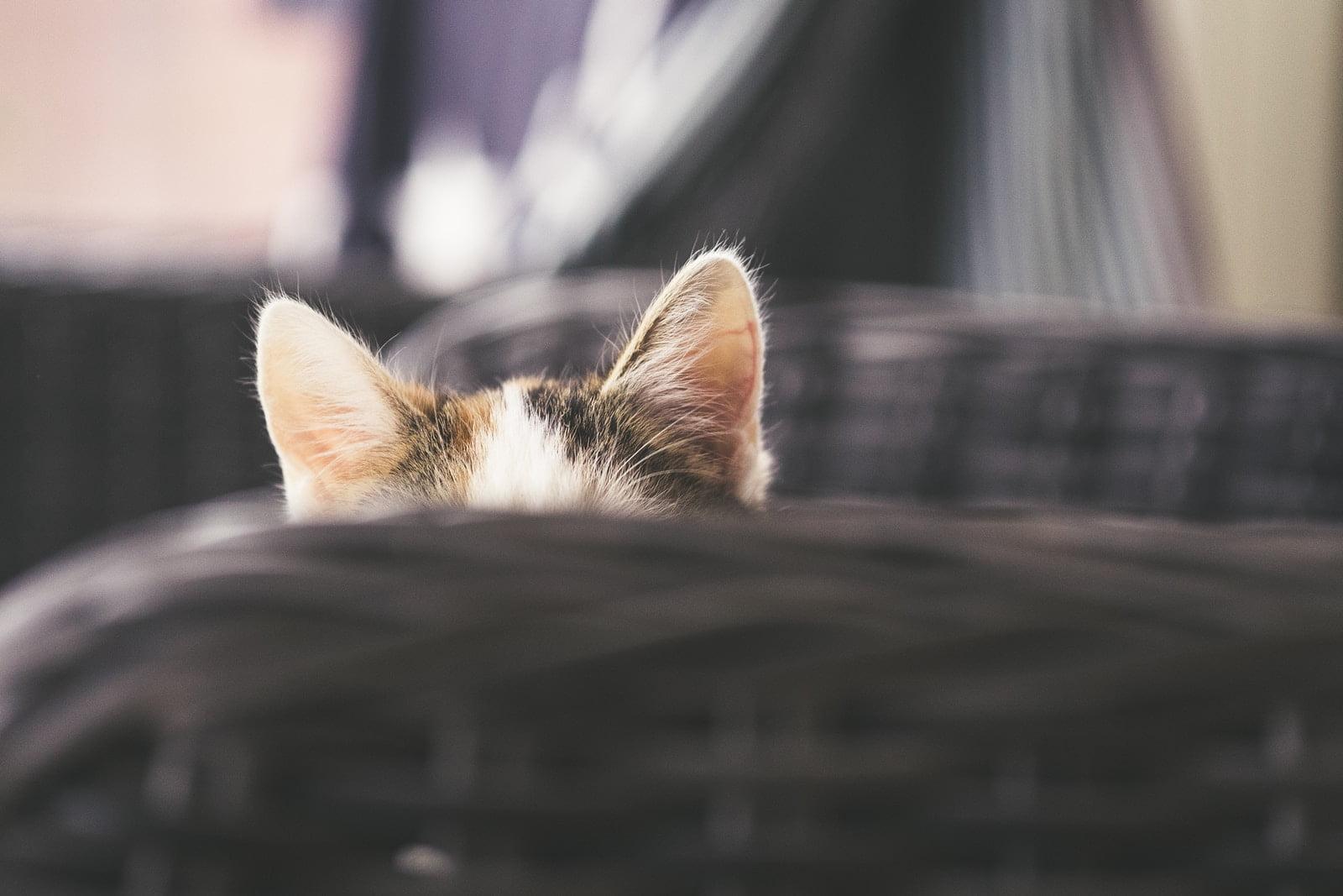 remedios caseros para los ácaros del oído en los gatos