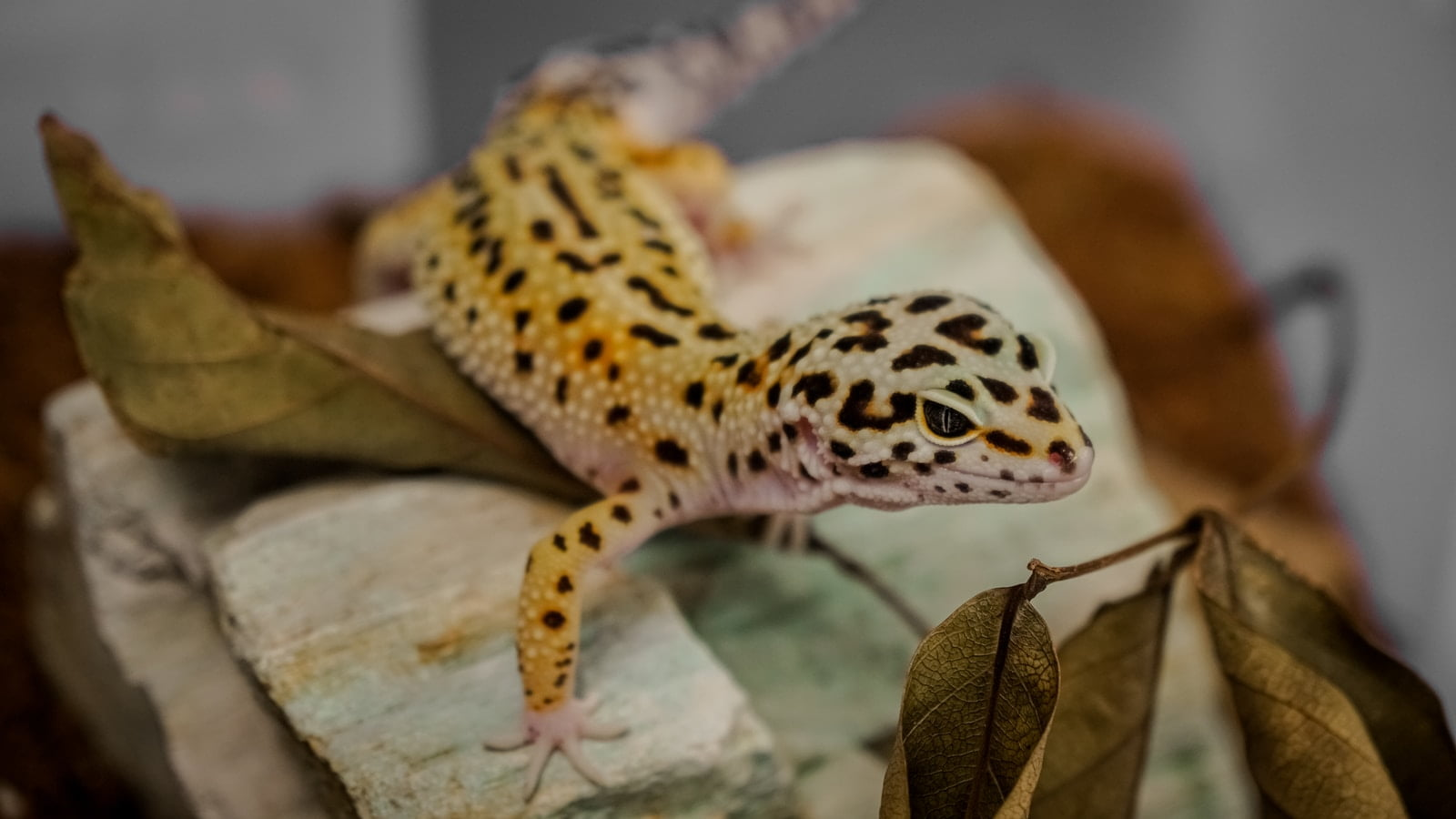 brown and white lizard on brown wood