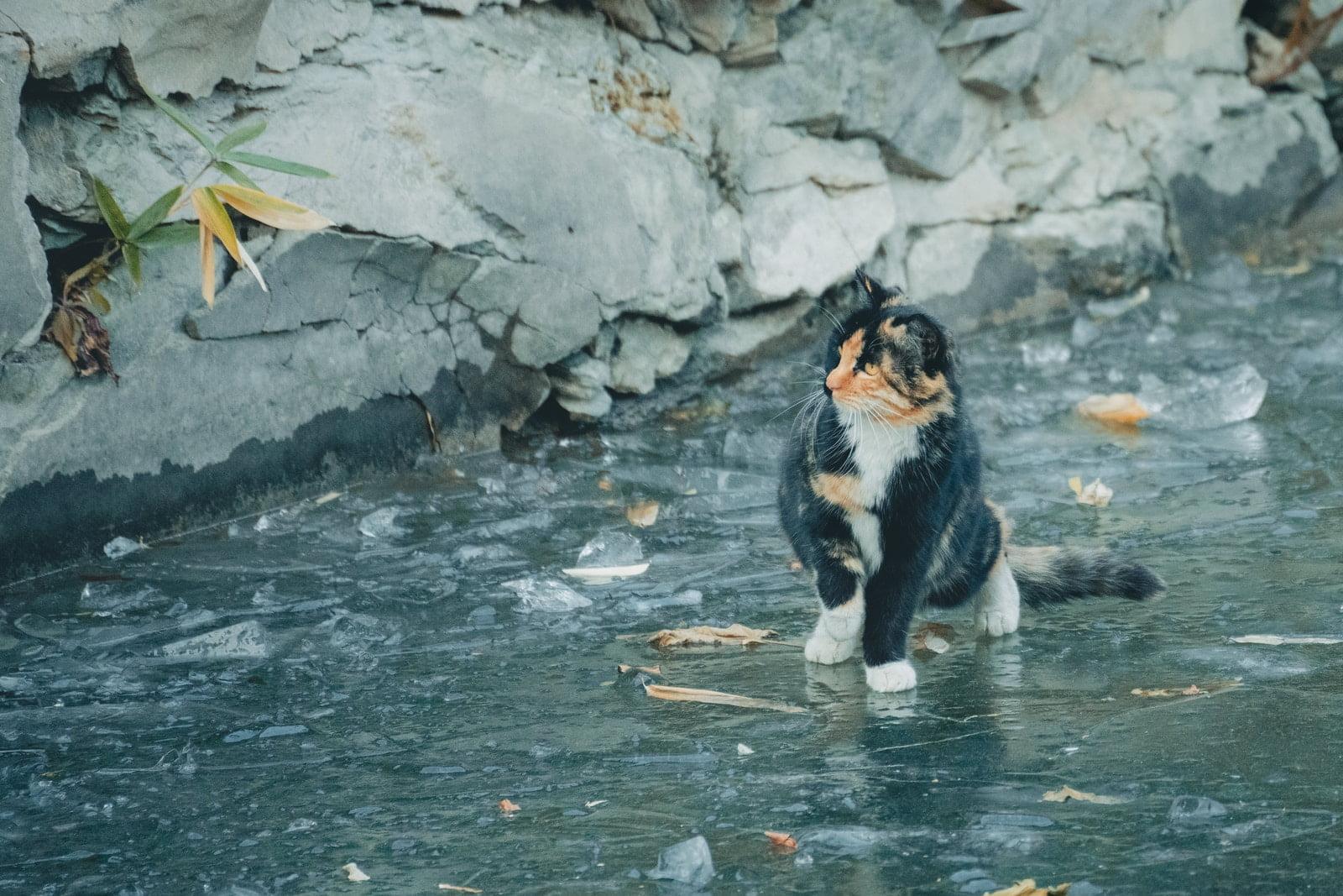 razas de gatos a las que les gusta el agua