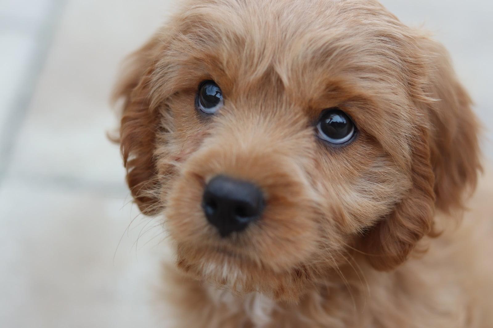 Micción sumisa en los perros, y orina por excitación