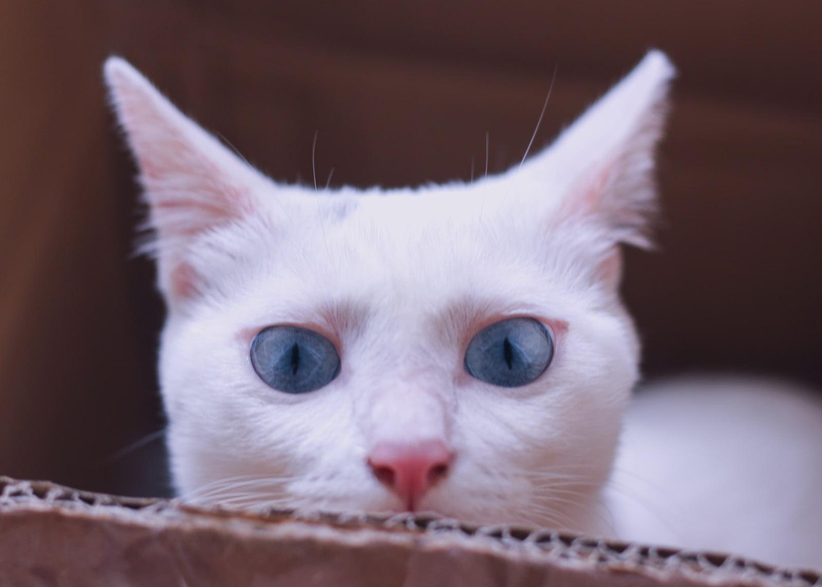 Ojo nublado en los gatos - Cataratas en los gatos o algo más