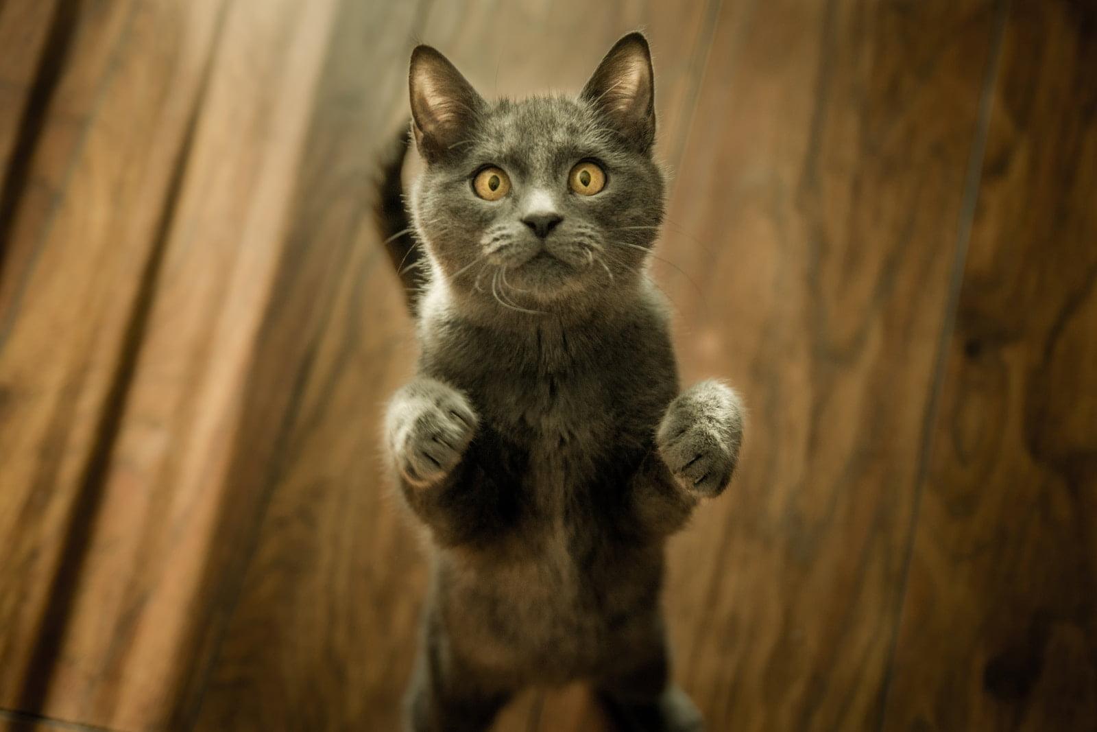 ¿Por qué mi gato siempre tiene hambre? ¿Qué podría estar mal?