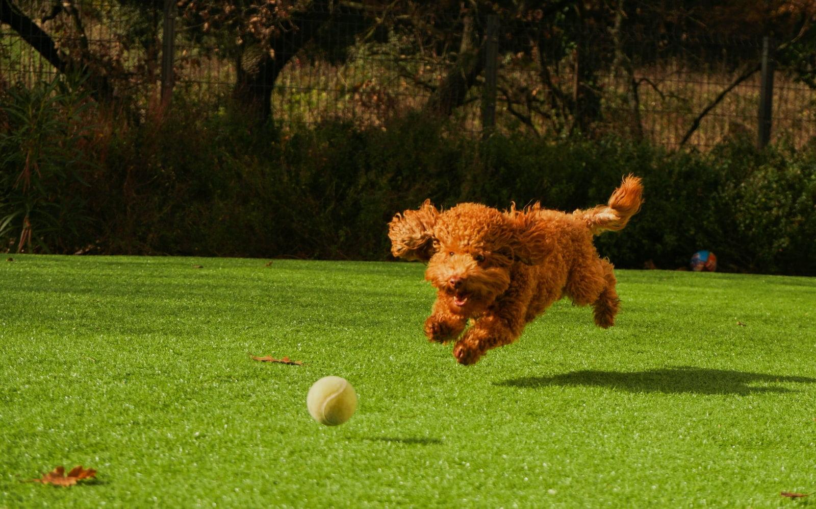 ¿Por qué a los perros les gustan las pelotas?