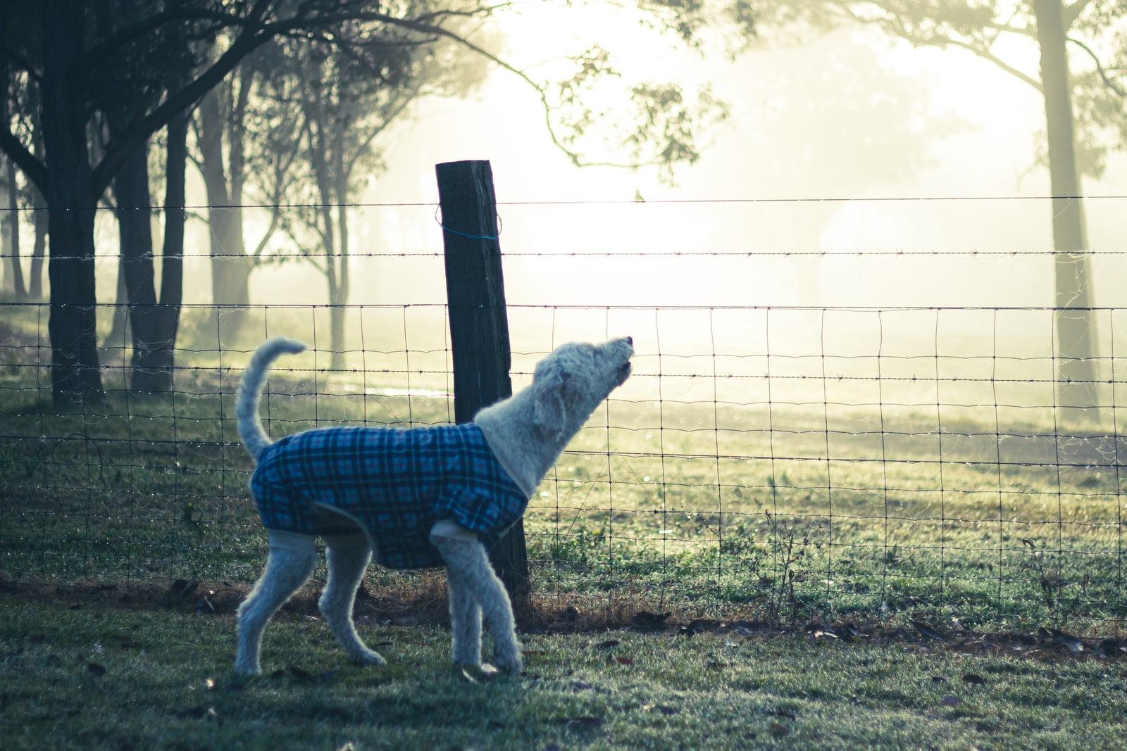 ¿Por qué los perros aúllan a las sirenas?